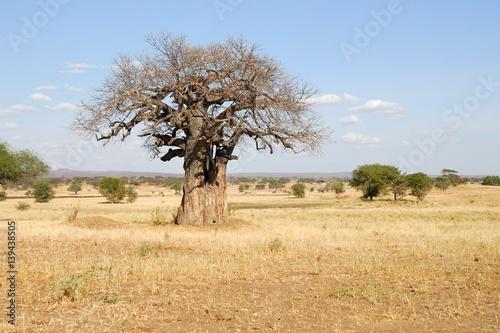 Big baobab, Tarangire National Park, Tanzania