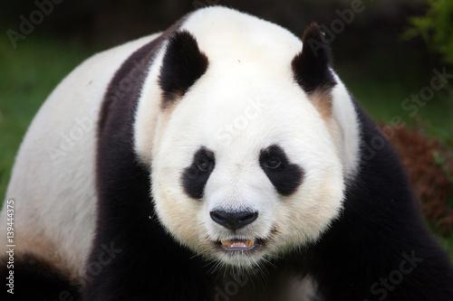 Aluminium Panda Giant panda (Ailuropoda melanoleuca).