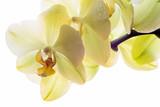 Fototapety Sanft gelbe Orchidee