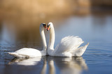 Couple of white swans on the lake