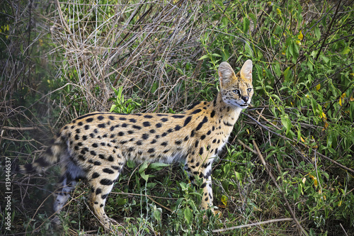 Poster The serval cat lives in the greasslands and marshes of Tanzania