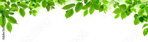 Leinwandbild Motiv Grüne Blätter auf weiß als natürliche Verzierung, Panorama Format