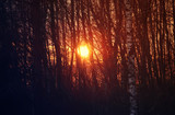 Summer sunset through branches of forest trees