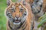 Sumatran Tiger Cub Happy Look