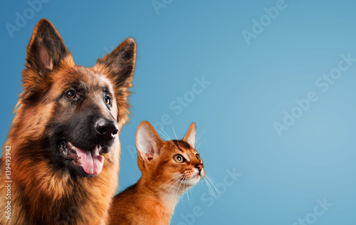 Dog and cat together on blue background