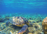 Sea turtle eating seaweeds on seabottom. Green turtle in wild nature.