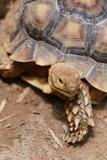 Freshwater turtle.
