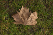 Dried maple leaf on grass background