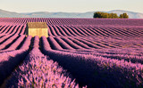 fields of lavender in Provence - 139538330