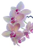 Fototapety Flowering stem of a Cymbidium or Boat orchid, Cornwall, England, UK.