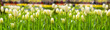 White tulips background.