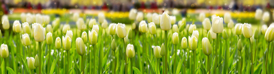 White tulips background.