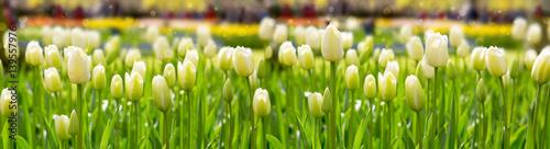 Fototapeta White tulips background.
