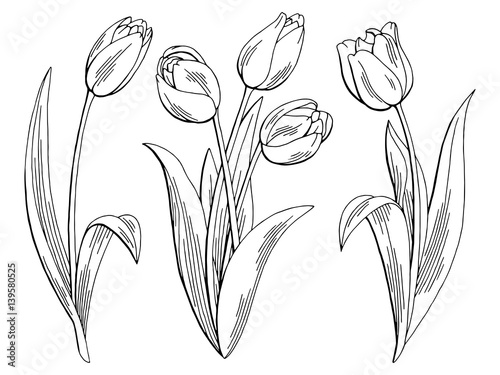 Tulip flower graphic black white isolated sketch illustration vector