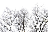 Dead branches , Silhouette dead tree or dry tree on white background with clipping path. - 139581783