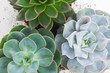 Succulent growing plants close up on white wooden background