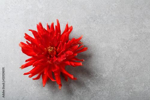 Red dahlia on gray concrete