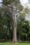 Baobab, Jardin botanique de Peradeniya, Kandy, Sri Lanka