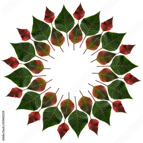 Green and red leaves from poinsettia in a circle