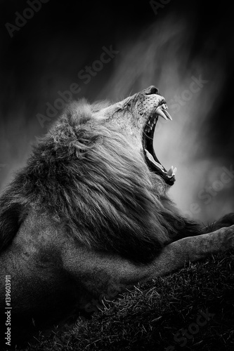 Black and white image of a lion © byrdyak