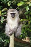 Velvet monkey on the fence in South Africa