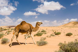 Dromedary camel walking in the desert, Wadi Draa, Tan- Tan, Moro
