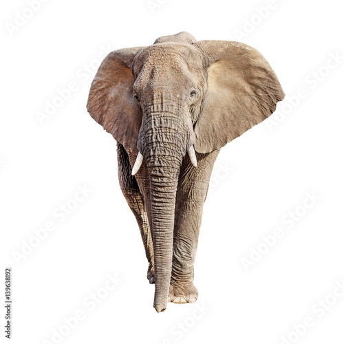 Fototapeta African Elephant Front View Isolated