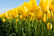 Yellow tulips growing on a field against blue sky
