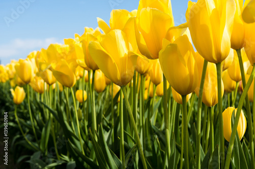 Fotobehang Tulpen Yellow tulips growing on a field against blue sky