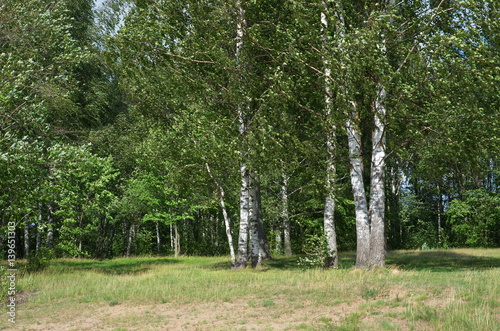 Summer landscape with birch trees