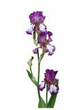 Tall Bearded Iris - German Iris