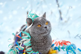 Portrait of a Blue british shorthair cat entangled in colorful streamer. Cat walking in the snow outdoor