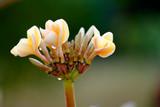 beautiful plumeria spa flower