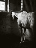 The horse stands sleeping in the stall. Monochrome portrait of the horse.
