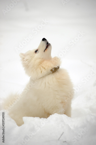 Foto op Plexiglas Antarctica 2 Samoyed puppy in winter