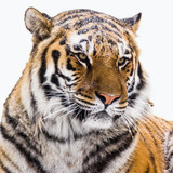 Portrait of the Amur tiger on a white background