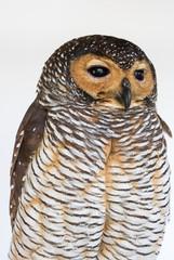 Portrait of  Brown Wood Owl bird from Thailand