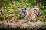 Junger Tiger beim liegen