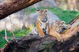 Zwei kleine Tiger