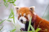 Roter Panda beim Bambus essen