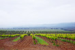 Vineyards in the spring. Overcast weather, fog. Spain, Catalonia