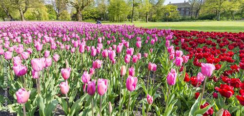 In de dag Olijf Tulips meadow in Rotterdam Park, The Netherlands