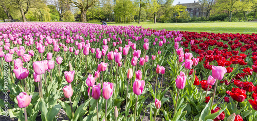 Fotobehang Olijf Tulips meadow in Rotterdam Park, The Netherlands
