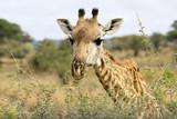 This giraffe is eating acacia leaves.
