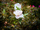 Delicate pink and white flower-Bud of azalea, bloom on a branch with vignette. Rhododendron Kaprise