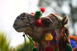 Colorful Camel