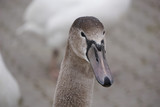 Portrait young swan head look to front