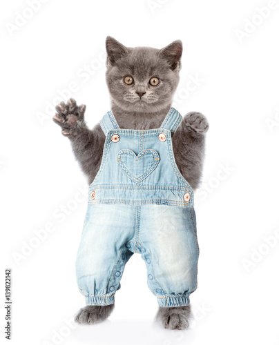 Fat cat in jeans overalls. isolated on white background