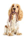 Fototapety Dog and leash in the teeth