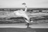 Black and white picture of a mute swan stretches its wings on a beach.